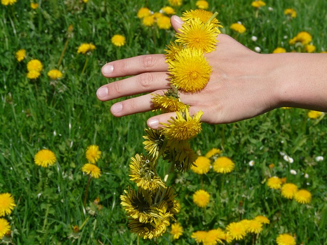 Spring Foraging in the UK - Dandelion